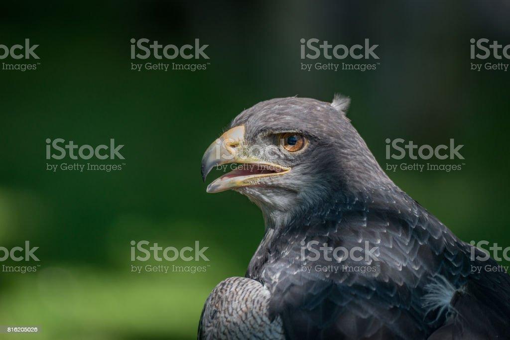 Close-up do sol em metade do urubu-águia-de-peito-preto - foto de acervo