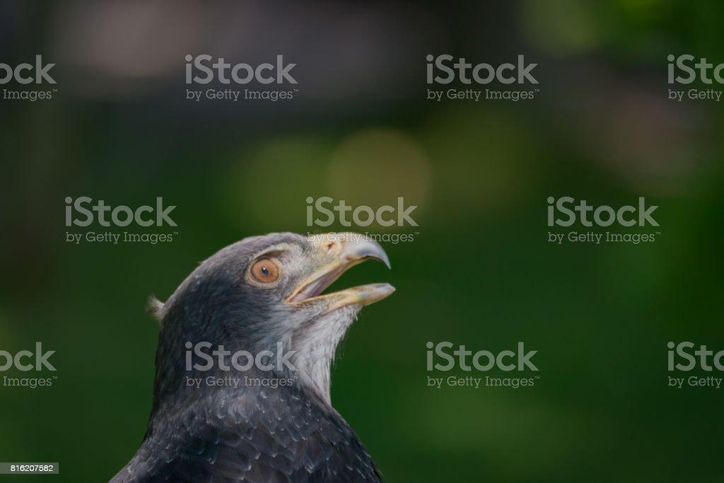 Close-up de urubu-águia-de-peito-preto, olhando para o alto - foto de acervo