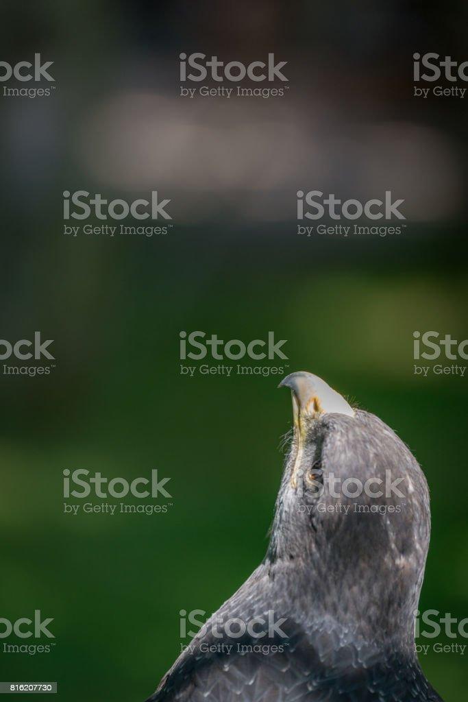 Close-up de urubu-de-peito-preto-águia olhar verticalmente até - foto de acervo