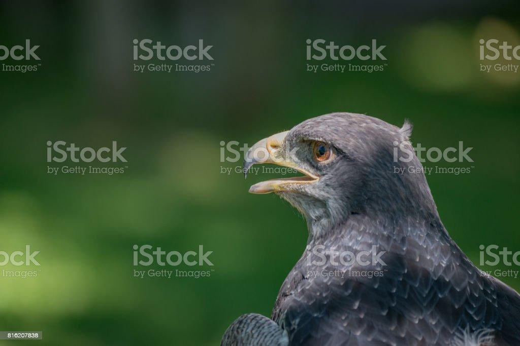 Close-up de urubu-águia-de-peito-preto com bico aberto - foto de acervo