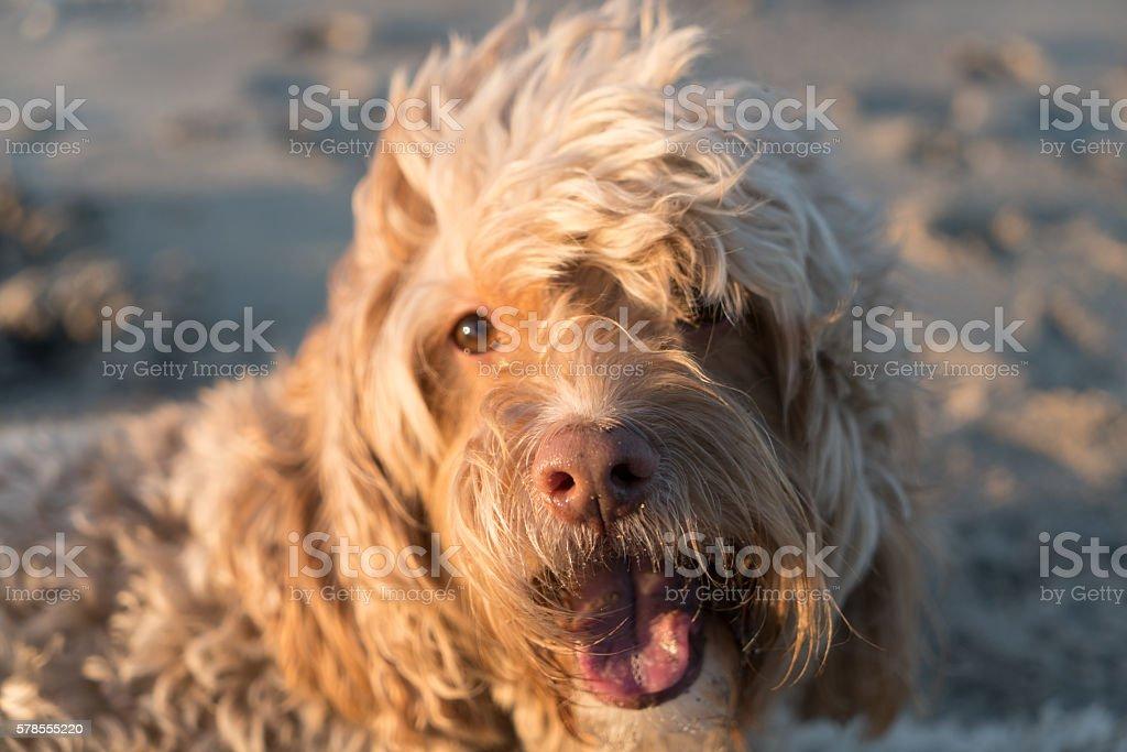 Close-up of Blonde Cockapoo stock photo