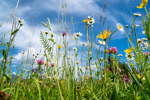 close-up of blooming flowers in meadow at spring