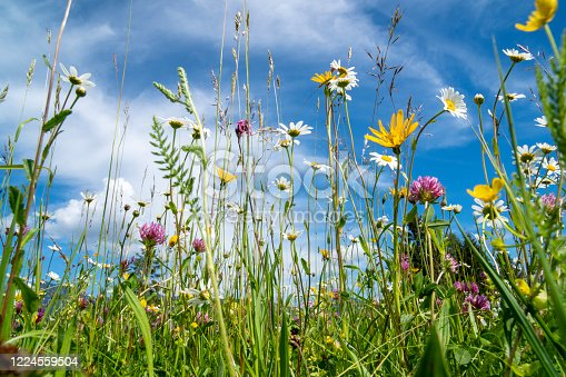 istock close-up of blooming flowers in meadow at spring 1224559504