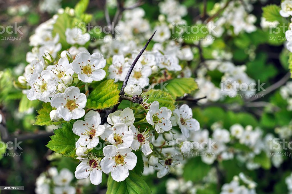 close-up of  blooming hawthorn stock photo