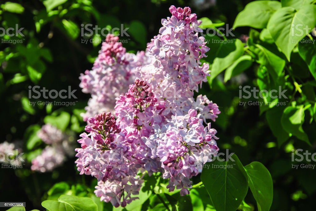 Close-up of blooming lilac branch royalty-free stock photo