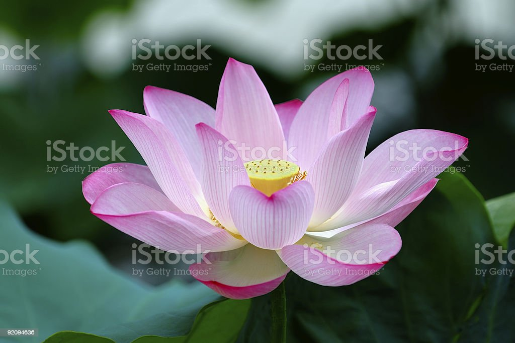 Closeup of blooming lotus flower stock photo