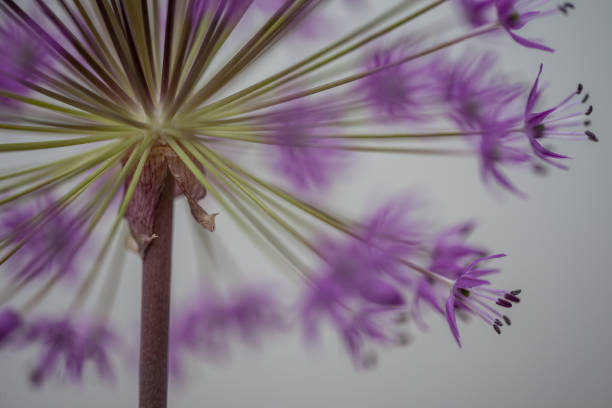 close-up of blooming violet blossoms of a garden leek (Allium)