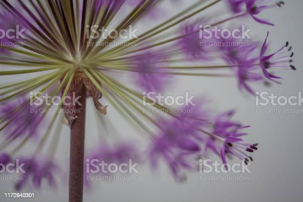 Photo of close-up of blooming violet blossoms of a garden leek (Allium)