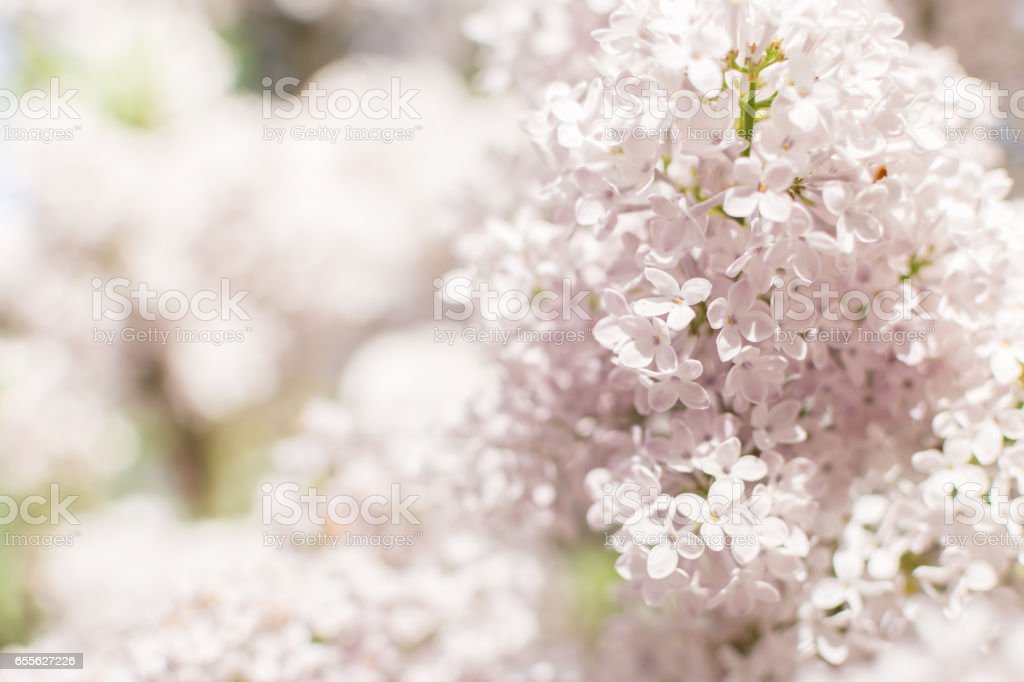 Close-up of blooming white Lilac blossoms in Springtime stock photo