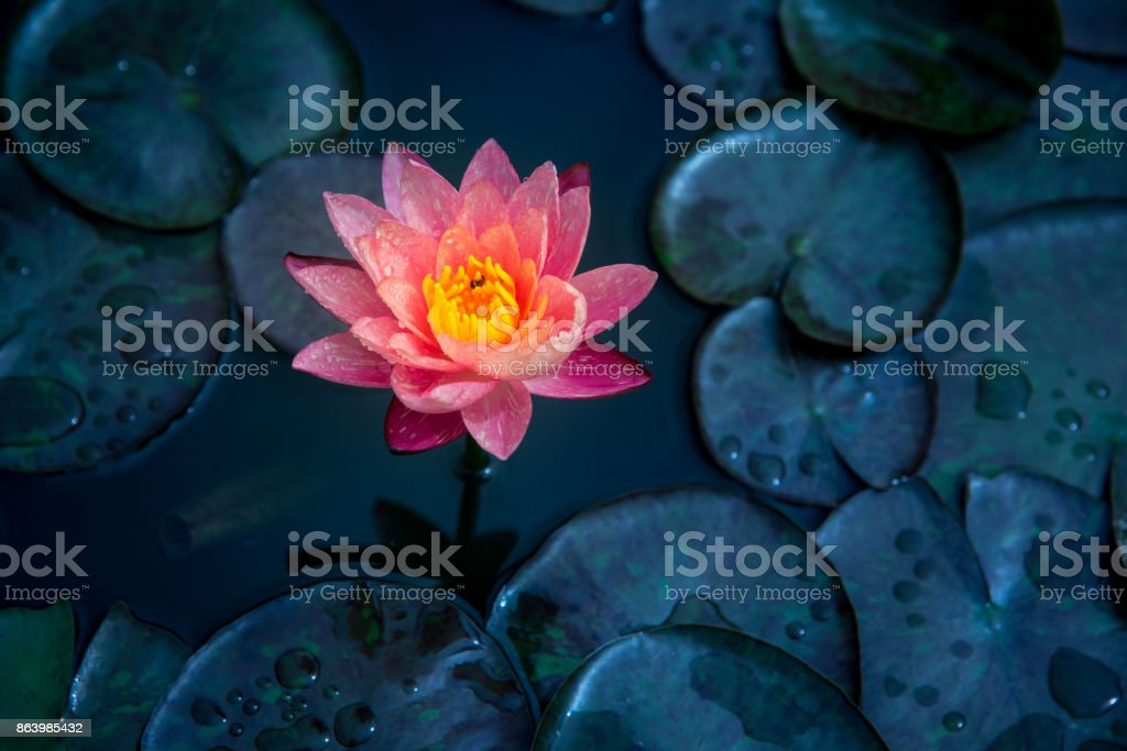 Close-up of blooming white,red and pink fancy waterlily or lotus flower with bees and flys inside of lotus. stock photo