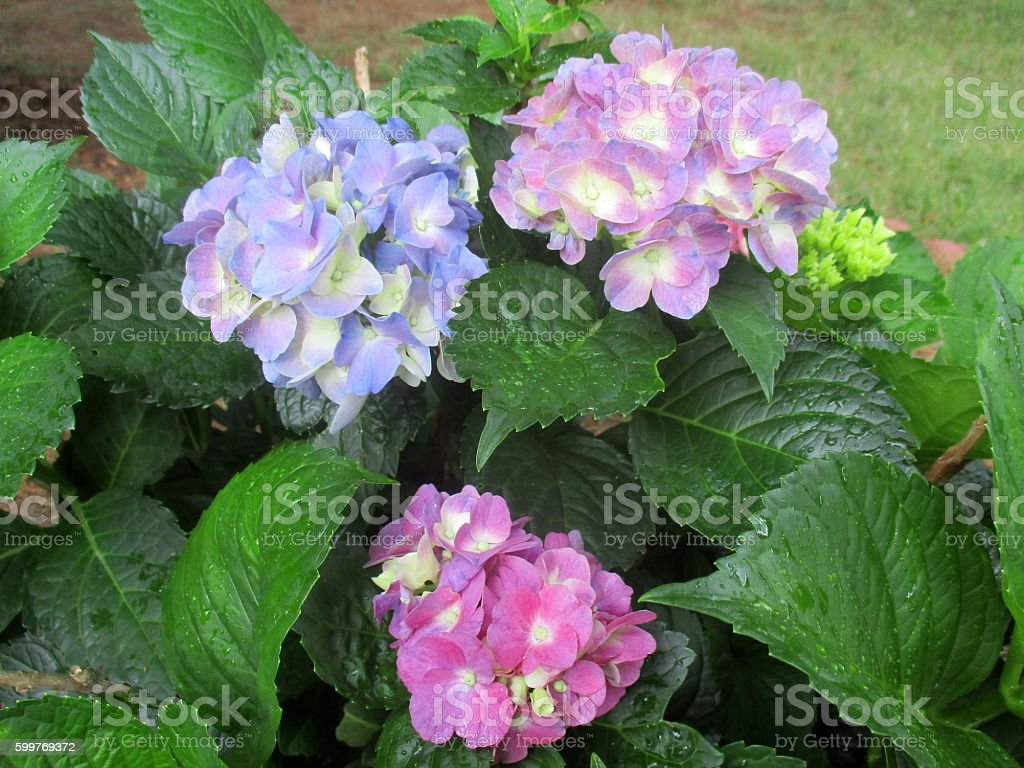 Close-Up of Blooms on Hydrangea Bush stock photo