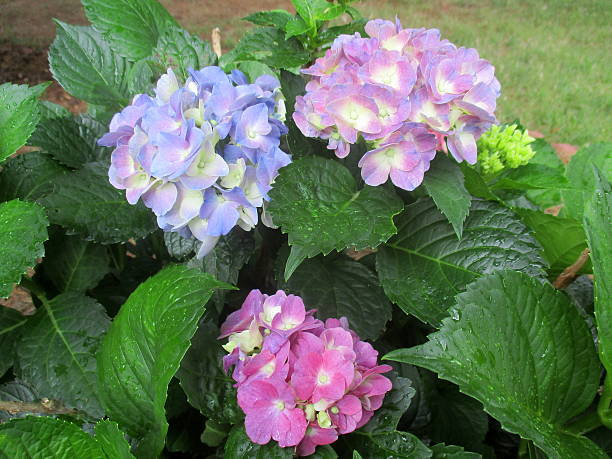Close-Up of Blooms on Hydrangea Bush stock photo