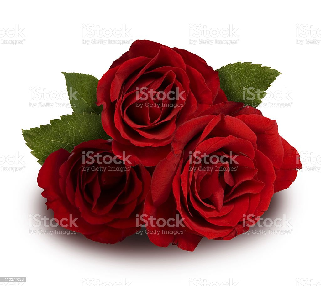 Close-up of blossom red rose in white background stock photo