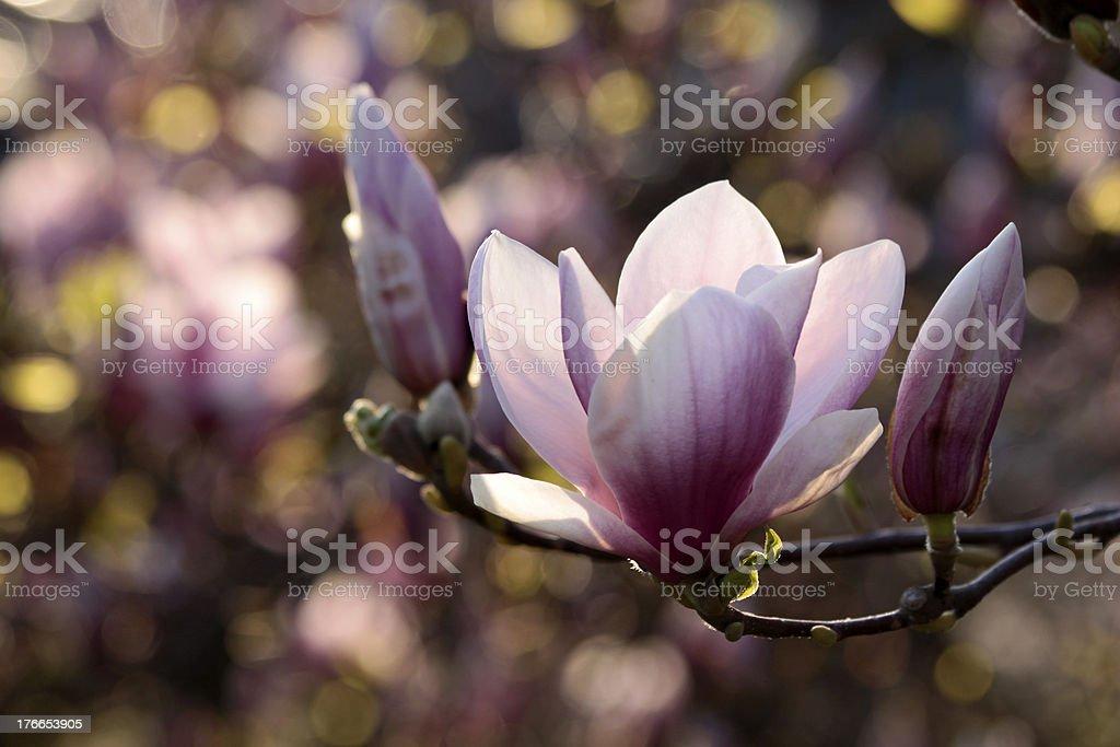Primer plano de Blossoming árbol de magnolia foto de stock libre de derechos
