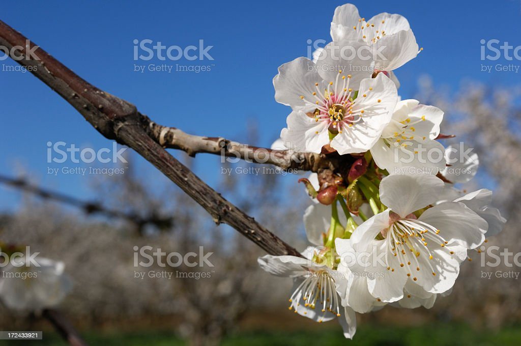Close-up of Blossoms on Cherry Trees royalty-free stock photo