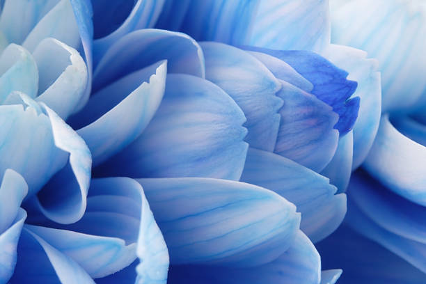 Close-up of Blue Flower Petals stock photo