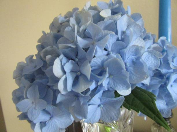 Close-up of blue hydrangea flower stock photo