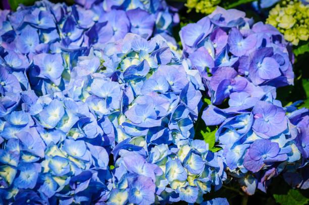 Closeup of blue hydrangea. Hydrangea macrophylla in a garden stock photo