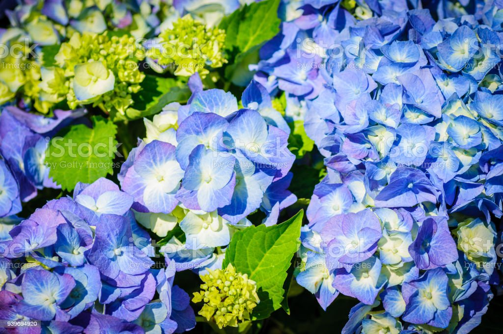 Closeup of blue hydrangea. Hydrangea macrophylla in a garden stock photo