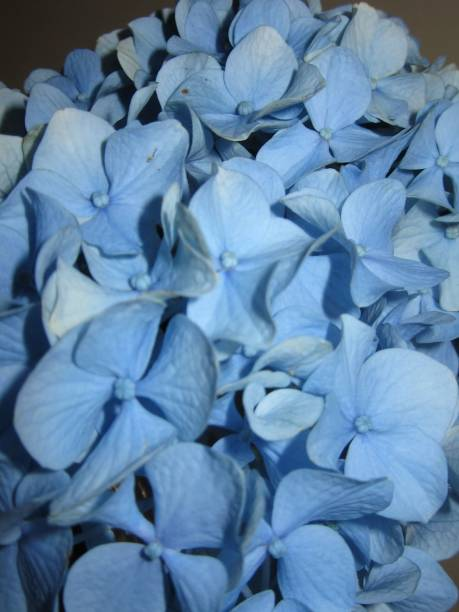 Close-up of Blue Hydrangea Petals stock photo