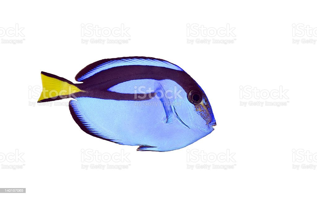 Close-up of blue regal tank fish isolated in white stock photo