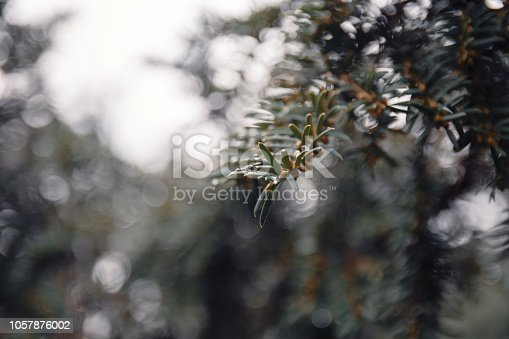 875265254 istock photo Close-Up Of Blue Spruce Tree With Needles And Morning Dew Against Sky In Autumn 1057876002