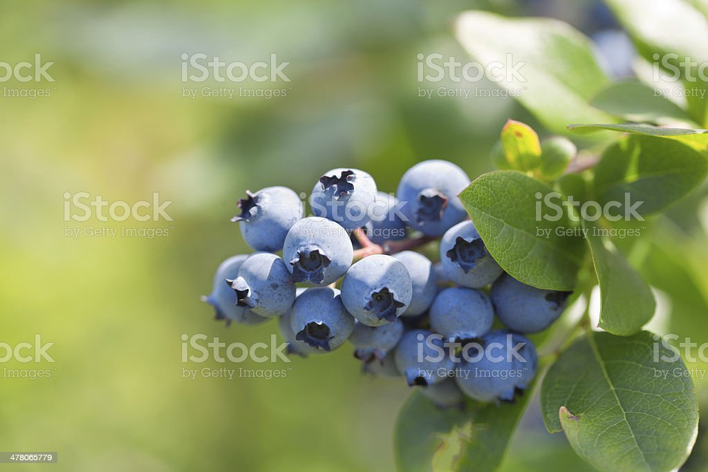 Close-up of Blueberry Cluster on the Bush stock photo