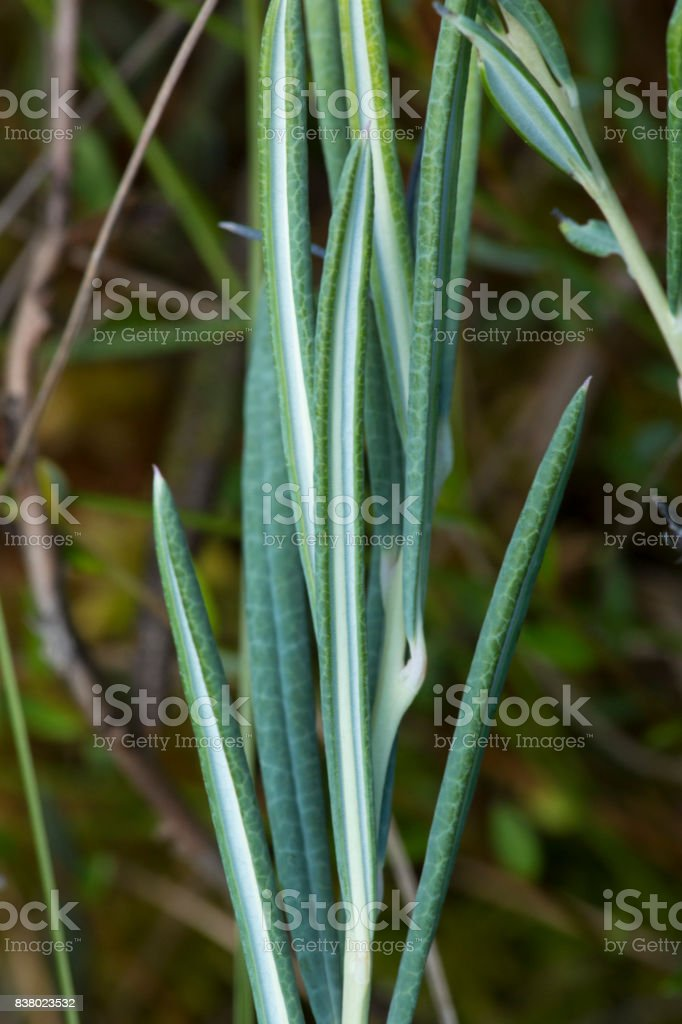 Closeup of bog rosemary leaves in New Hampshire. stock photo