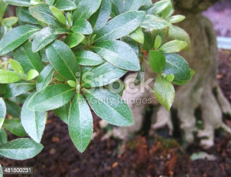 Close-up of Bonsai Azalea leaves with tree's trunk in background