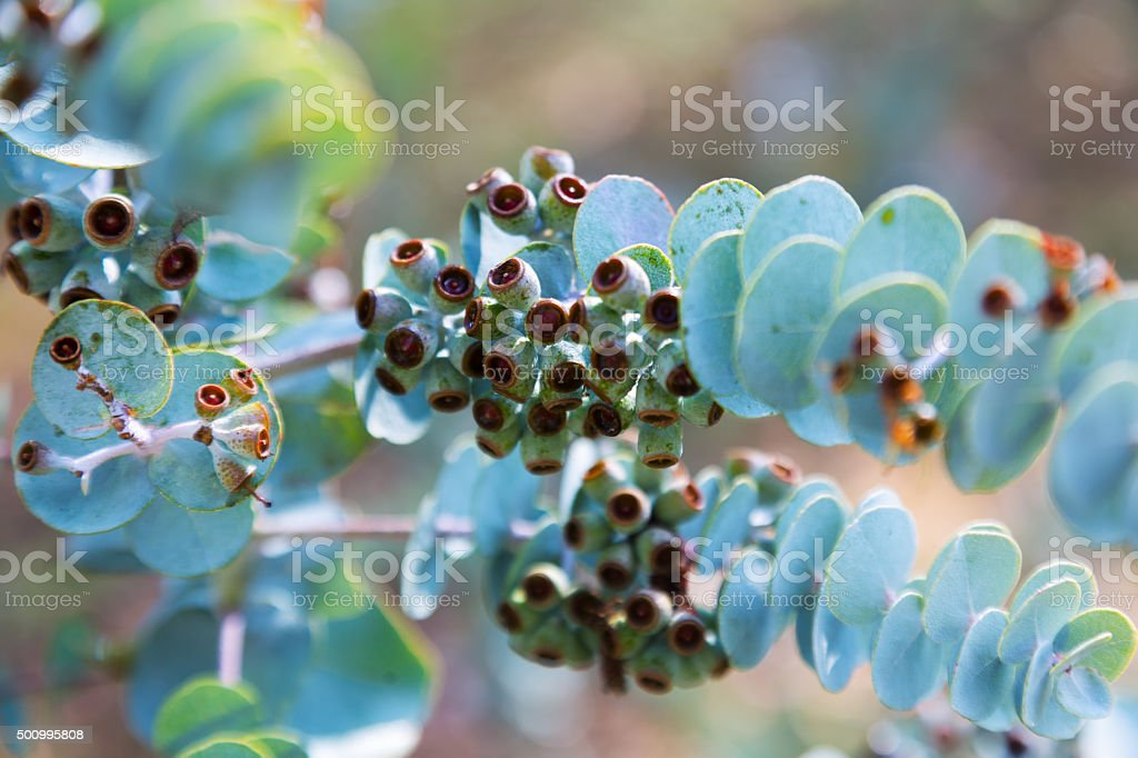 Closeup of  Book-leaf mallee stock photo