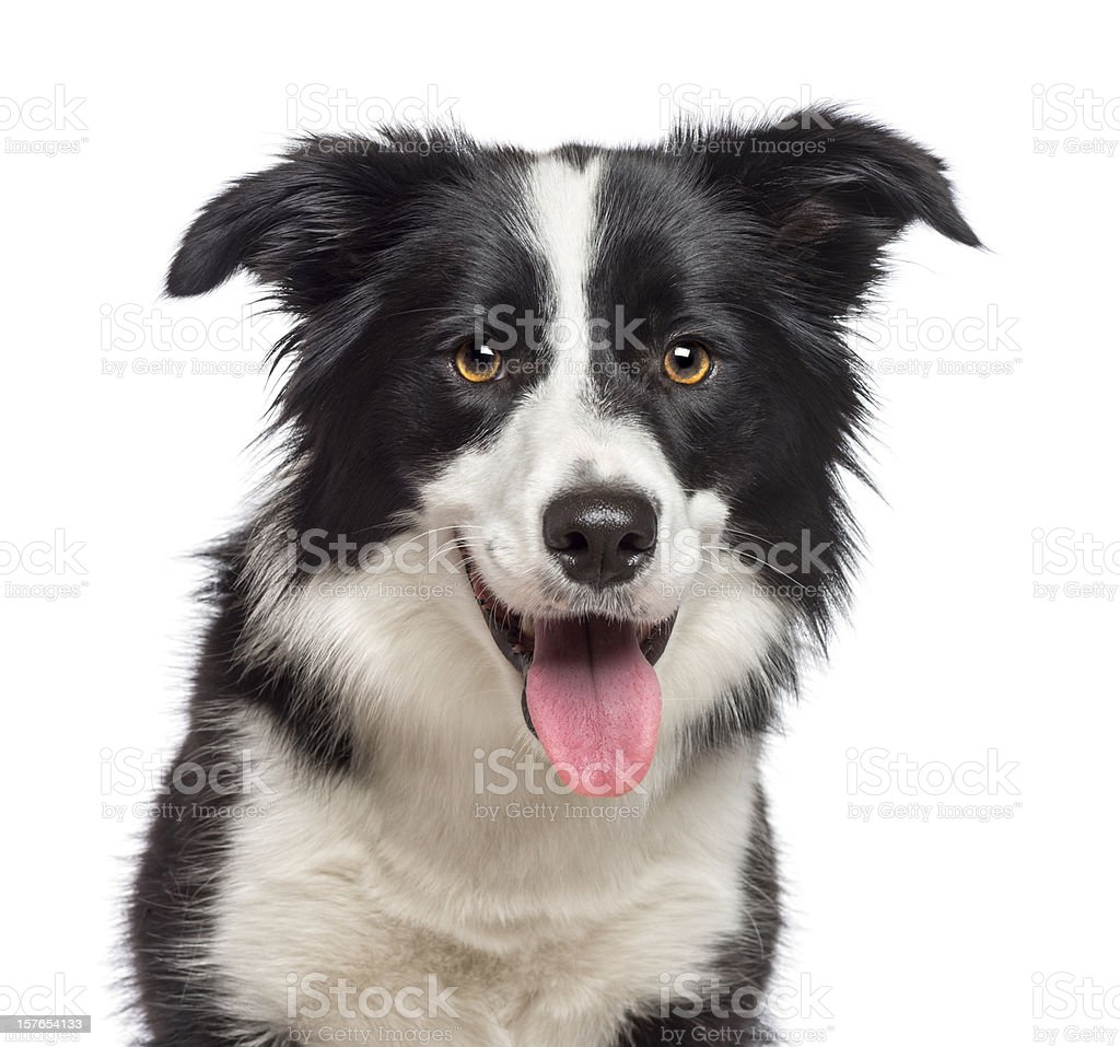 Close-up of Border Collie, 1.5 years old, looking at camera stock photo