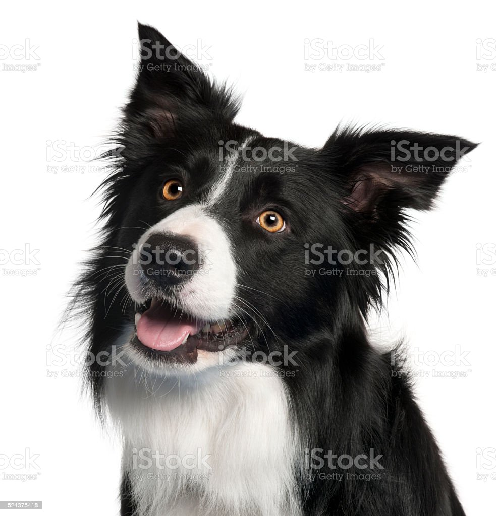 Close-up of Border Collie, 4 years old, stock photo