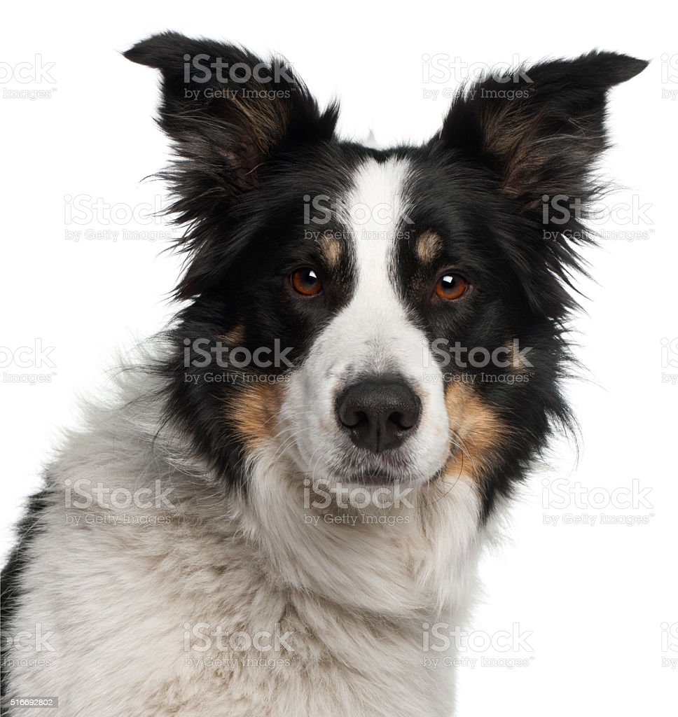 Close-up of Border Collie, 5 and a half years old, stock photo