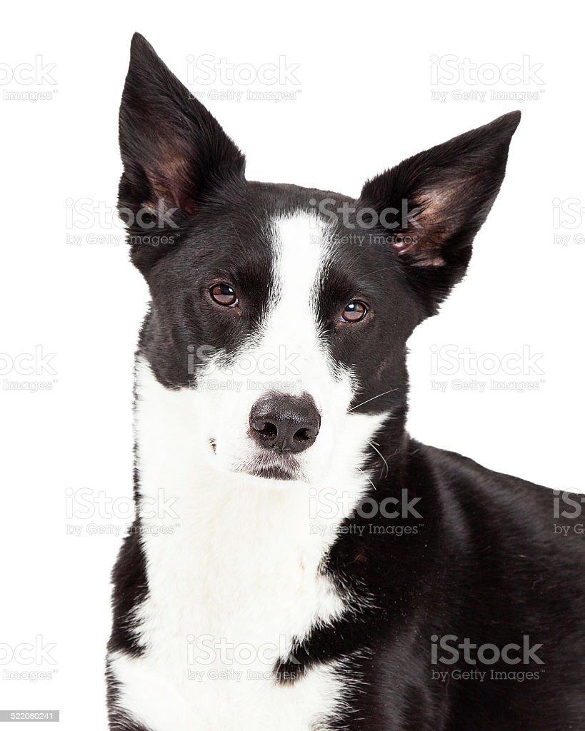 Primer plano de perros Border Collie mezclar Breed - foto de stock