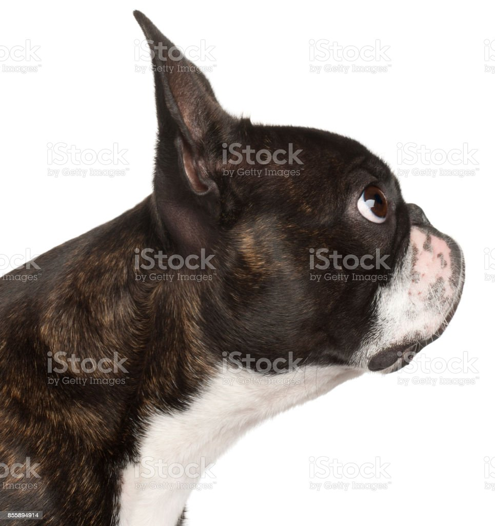 Close-up of Boston Terrier, 1 year old, in front of white background stock photo
