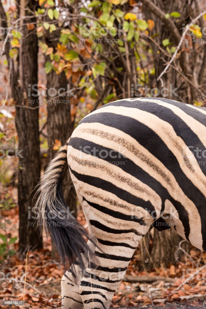 Close-Up of Bottom of Plains Zebra in Savannah, South Africa, Mapungubwe Park stock photo