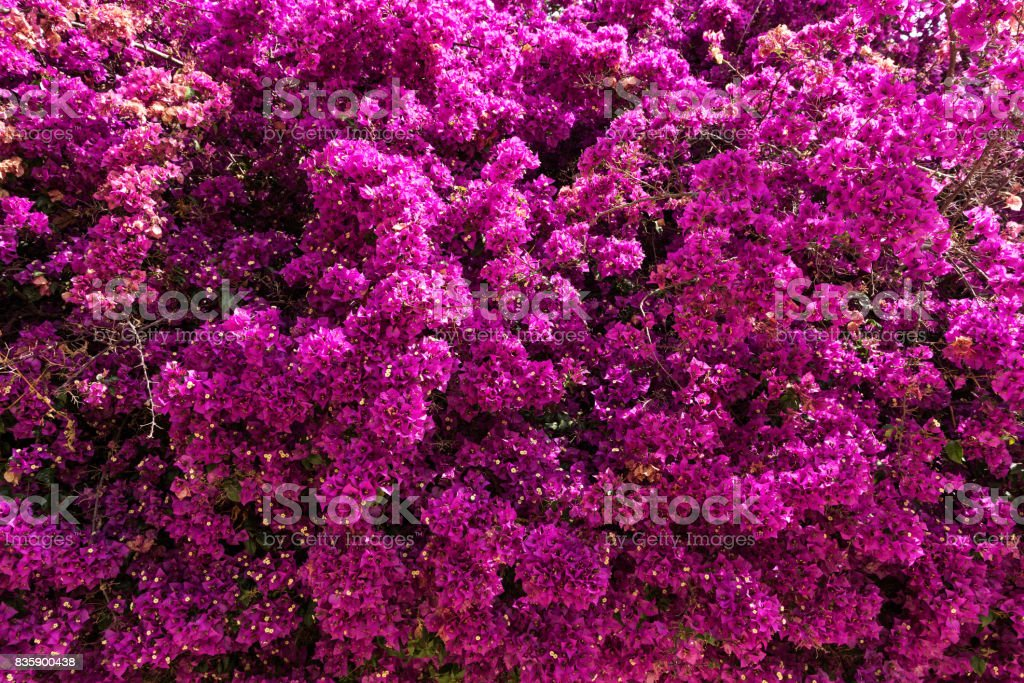 Close-up of Bougainvillea Backgrounds in Valencia, Spain – zdjęcie