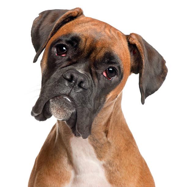 zbliżenie bokser, dwunastu miesięcy, na białym tle. - bokser pies zdjęcia i obrazy z banku zdjęć