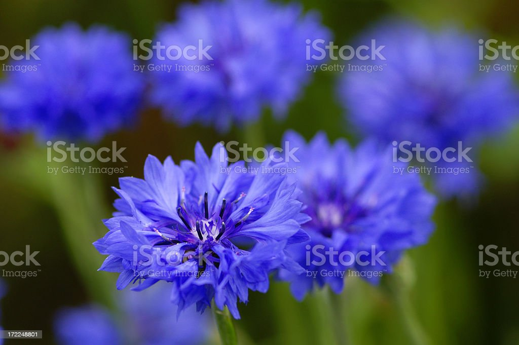 Close-up of bright blue corn flowers in a field stock photo