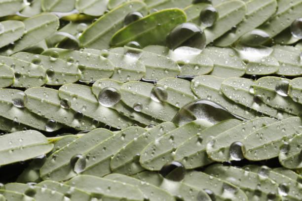 Nahaufnahme von leuchtend grünen Moringa Blatt mit Wassertropfen – Foto