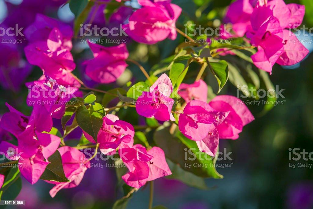 Closeup of bright red bougainvillea blossoms, Bougainvillea spectabilis stock photo