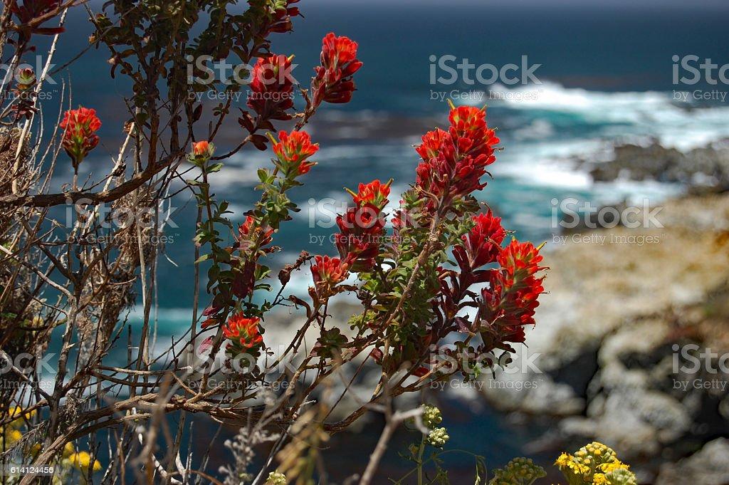 closeup of bright red Indian paintbrush, Big Sur, California stock photo