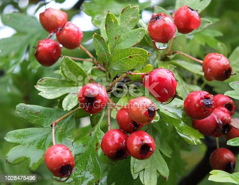 closeup of a bunch of bright red wild hawthorn berries growing in woodland in early autumn