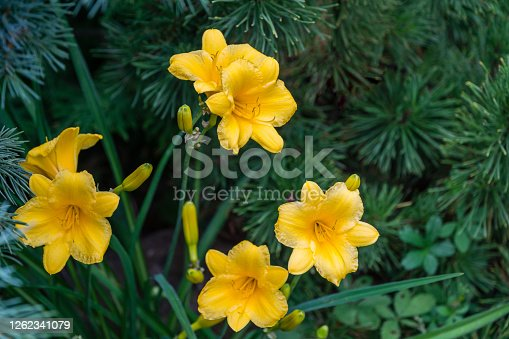 Close-up of bright yellow-orange daylily Hemerocallis hybrida Stella de Oro on green leaves background in spring garden. Selective focus. There is place for text