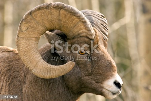 Closeup Of Brown Bighorn Sheep Stock Photo & More Pictures ...