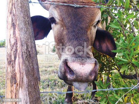 Close-up of brown cow head on organic farm in Martinique, French West Indies. Cows in Caribbean meadow. Close-up of brahman cow.