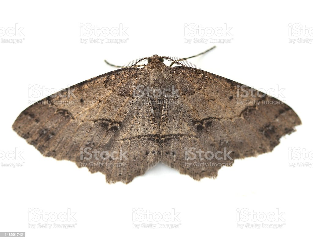 Close-up of brown moth with open wings on white background stock photo