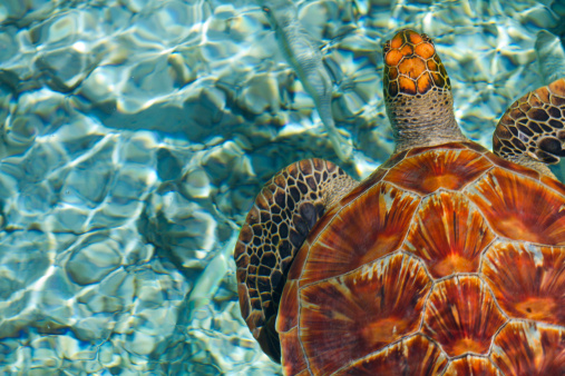 istock Close-up of brown swimming turtle in clear blue sea water 150838503