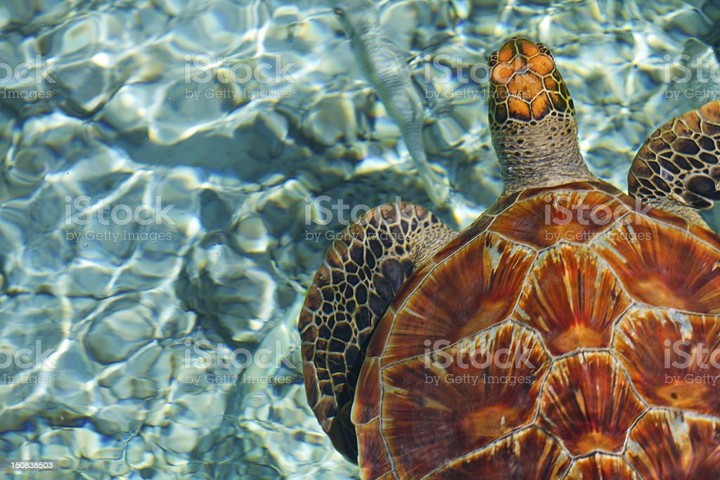 Close-up of brown swimming turtle in clear blue sea water stock photo