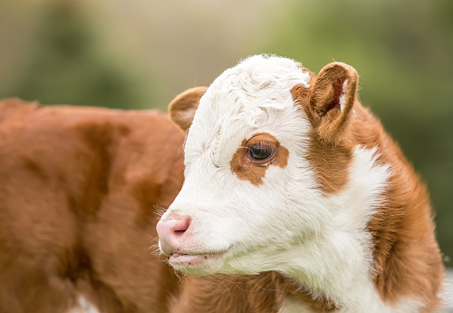 Closeup Of Brown White Hereford Calf Stock Photo ...
